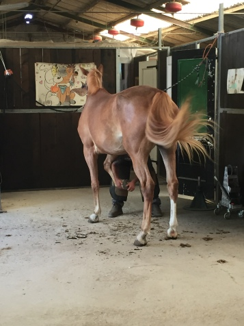 Horse getting shoed