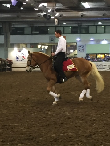 Haflinger doing dressage