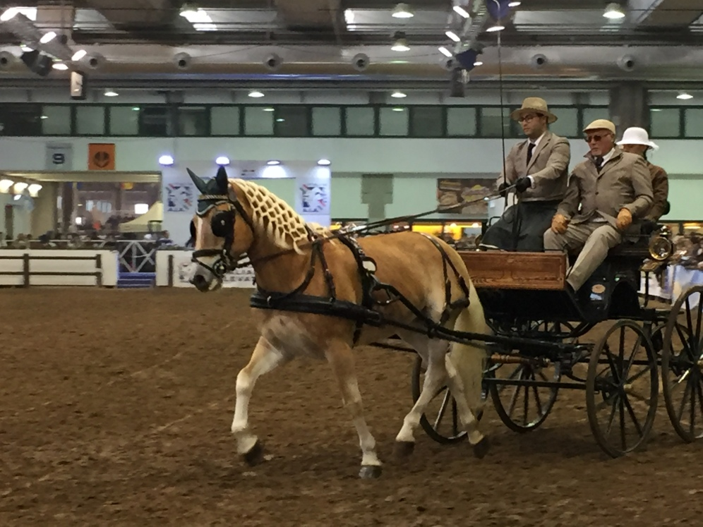 Haflinger in front of the cart