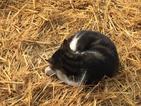 Cat on the hay