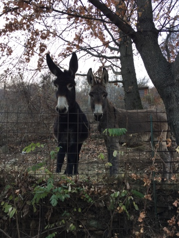 Two curious donkeys