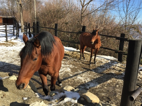The Spanish horses